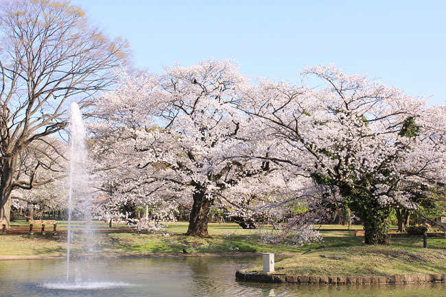 お花見 代々木公園